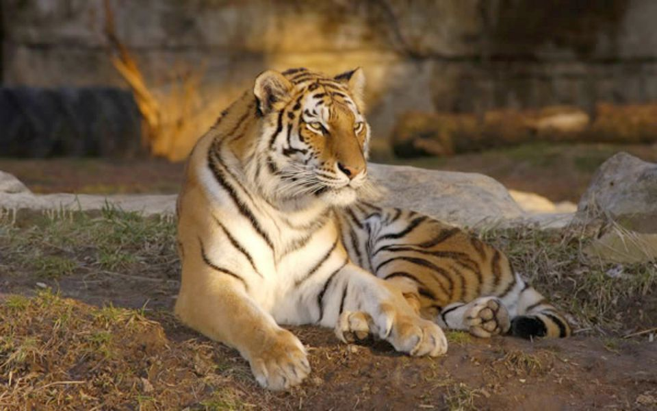 A Tiger at the St. Louis Zoo