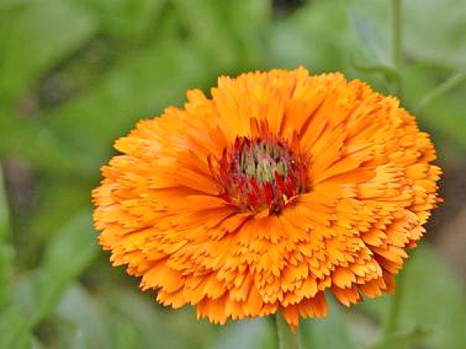 Pot Marigold (Calendula) Growing and Care Guide