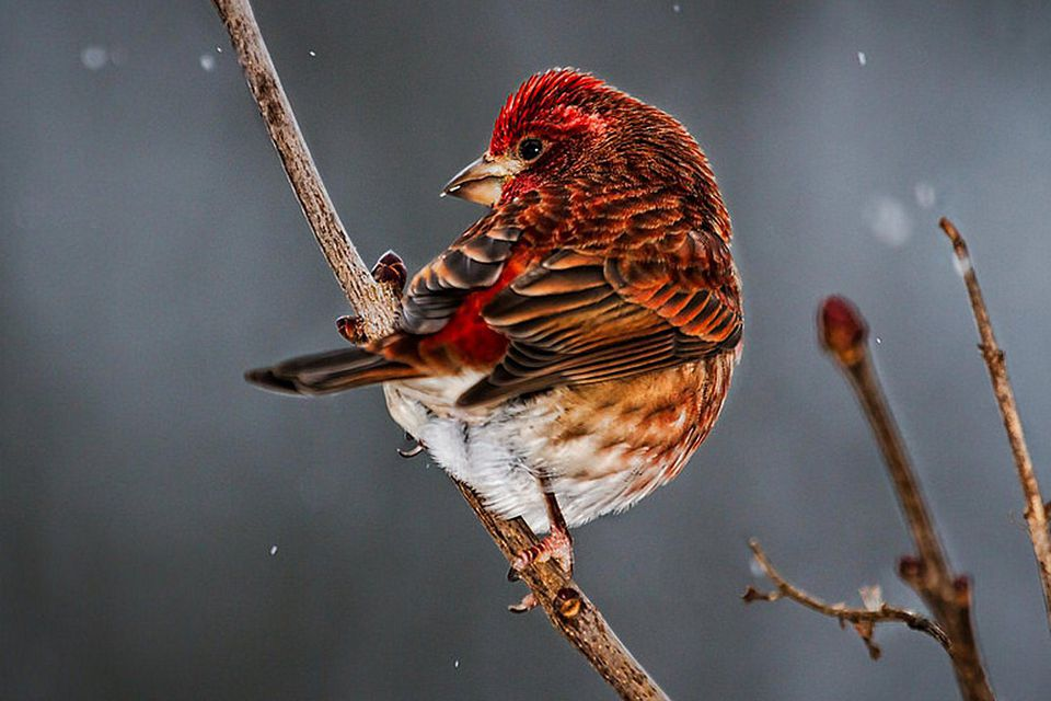 Purple Finch in Winter