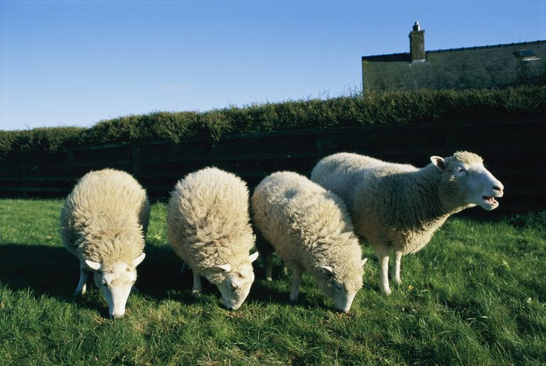 Dolly (the first cloned sheep), and three other sheen in a field.