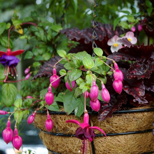 container gardening picture of fuchsia hanging basket