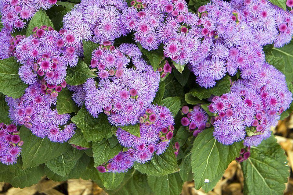 Flossflower (Ageratum houstonianum) 'Ariella Power Violet'