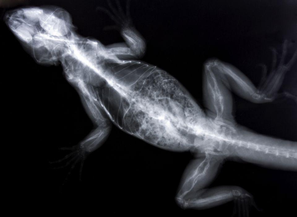 Radiograph (x-ray) of an iguana with metabolic bone disease