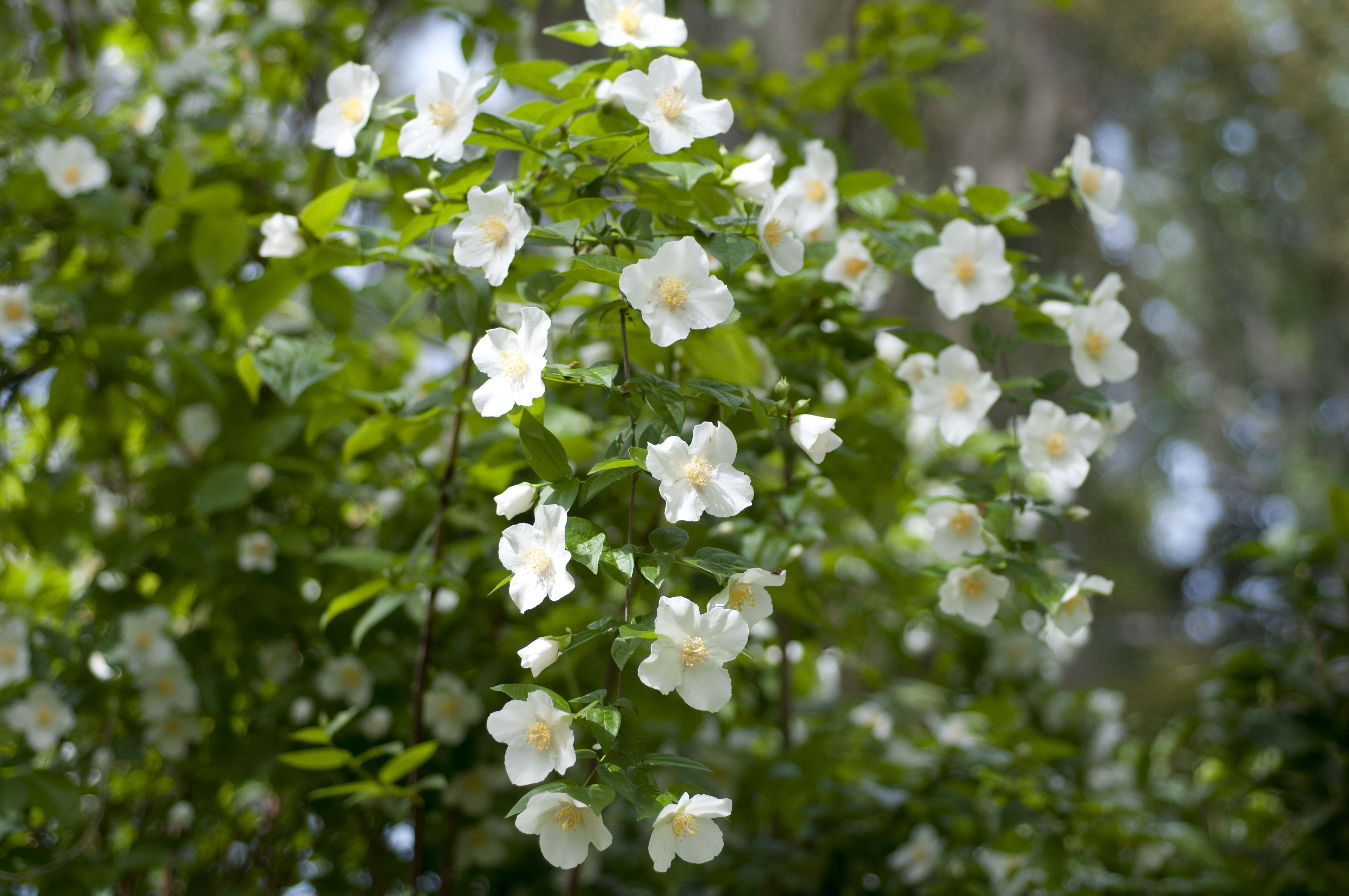 Mock orange shrubs growing and care guide for Garden shrubs