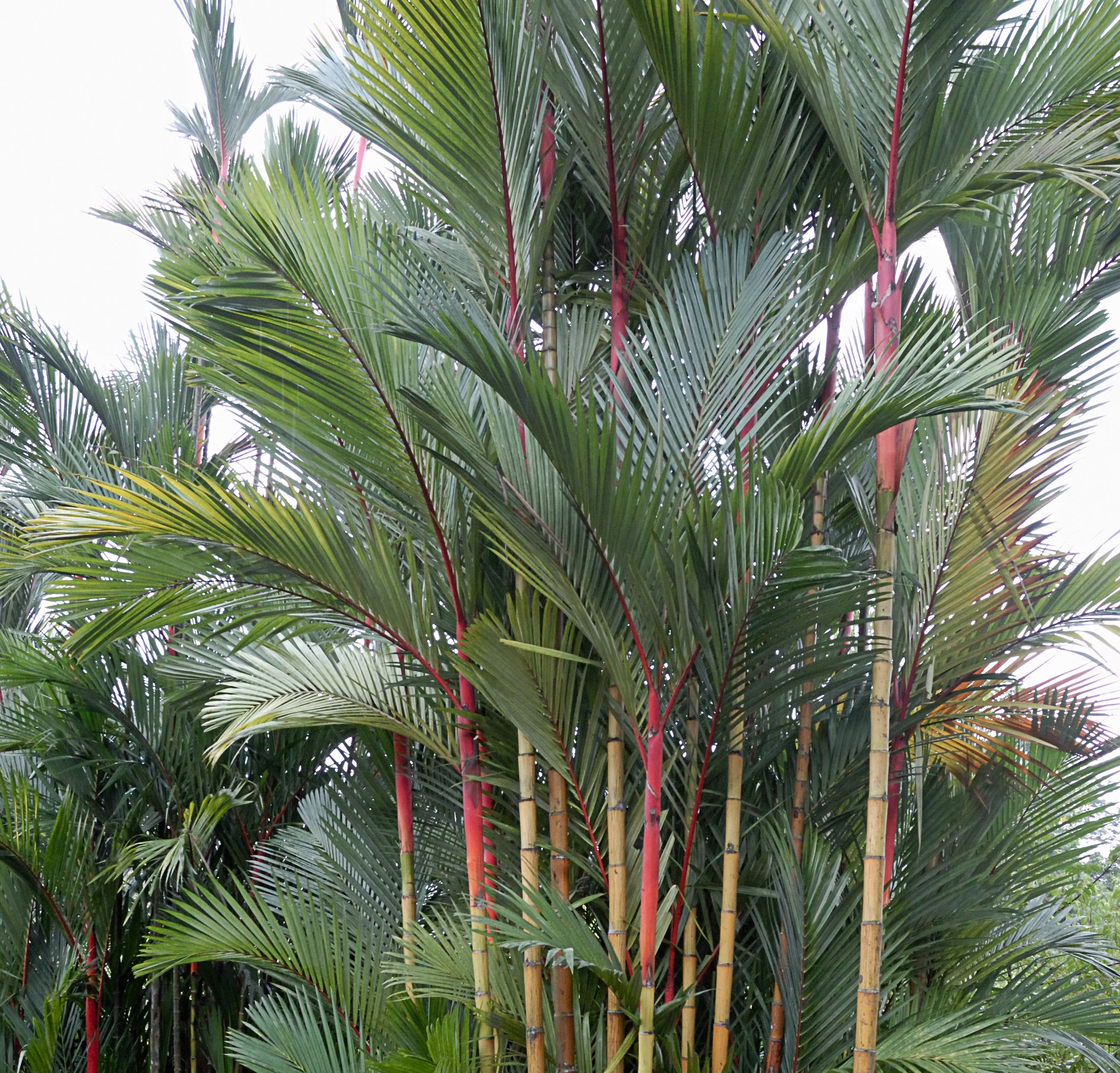 Conoce los diferentes tipos de palmera for Palmeras pequenas para jardin
