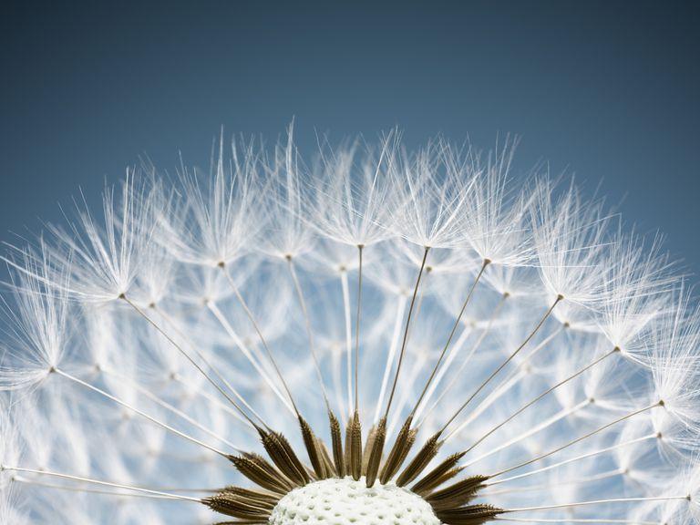 Dandelion Spores