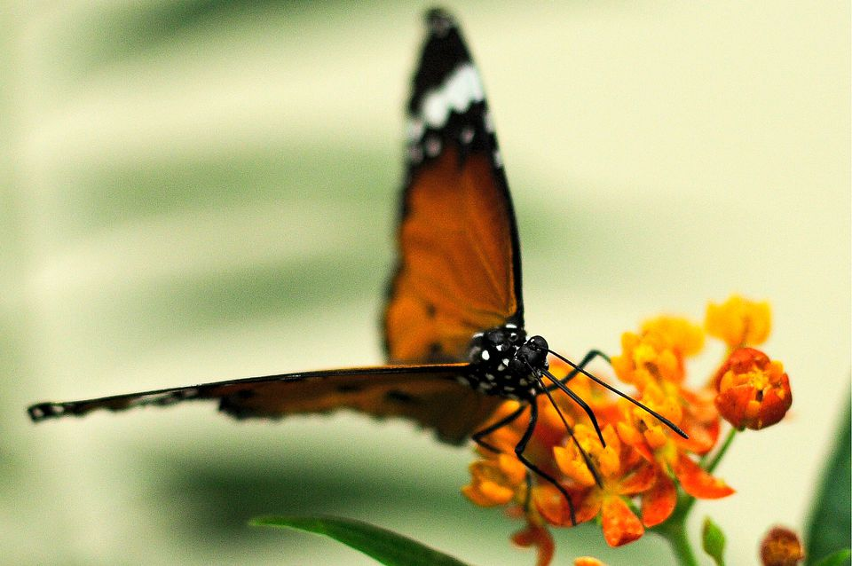 Every winter and spring, the Montreal Botanical Garden presents Butterflies Go Free.