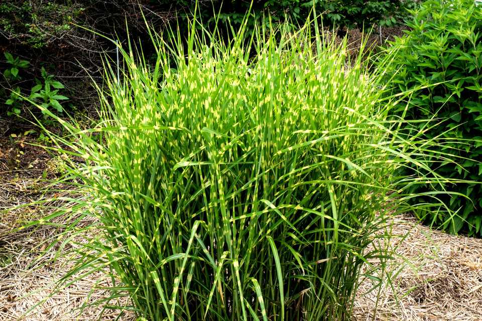12 ornamental grasses that will stop traffic for Landscaping with zebra grass