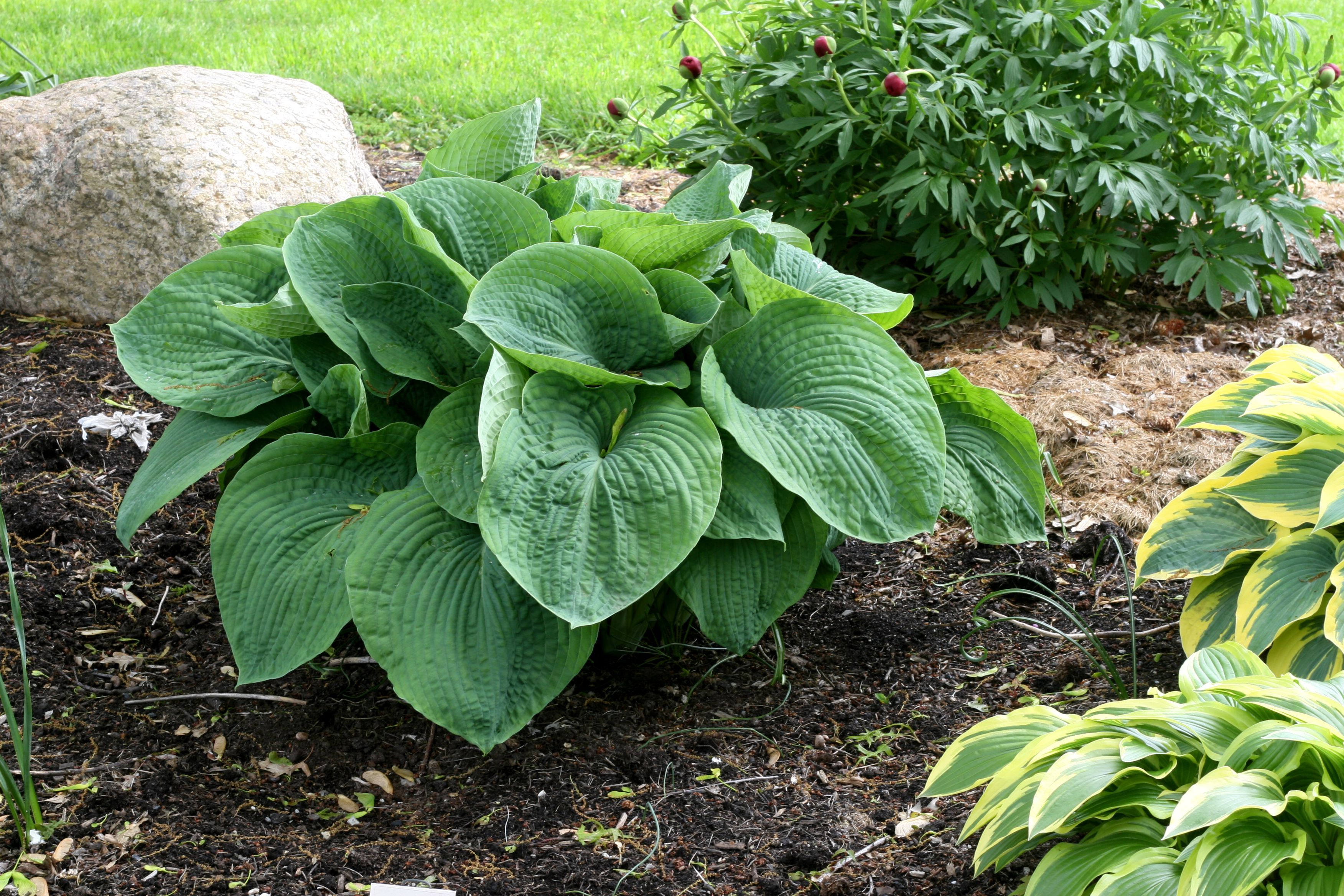 Tips For Growing Hostas Inside