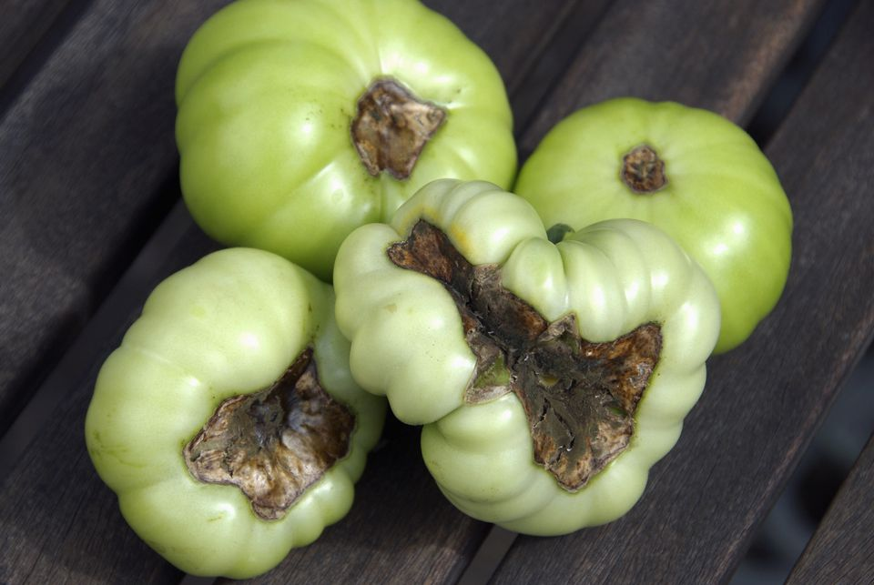 Tomatoes suffering from blossom end rot.