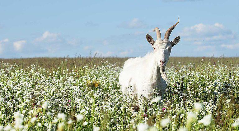 goat field flowers