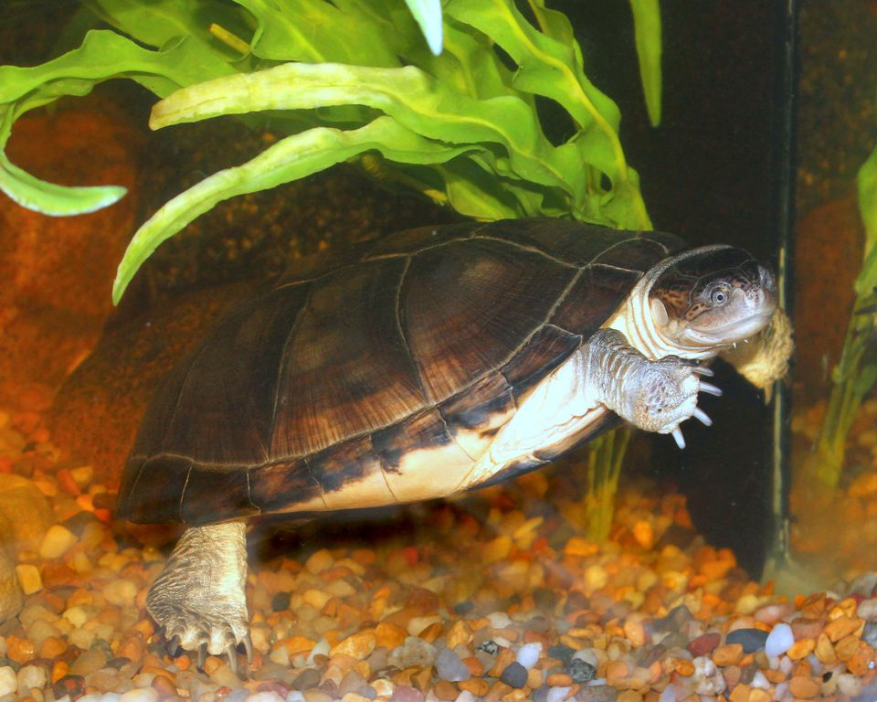African side-neck turtle