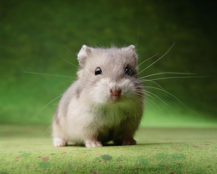 how to handle and tame pet hamsters