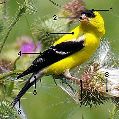 American Goldfinch Identification Breeding Male