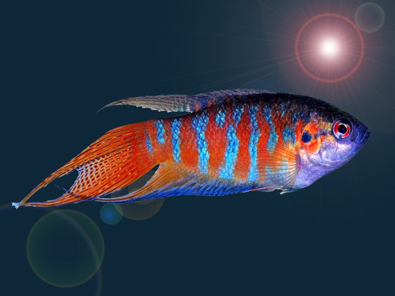 The Origional Fish that Started the Tropical Fish Hobby, Paradise Fish