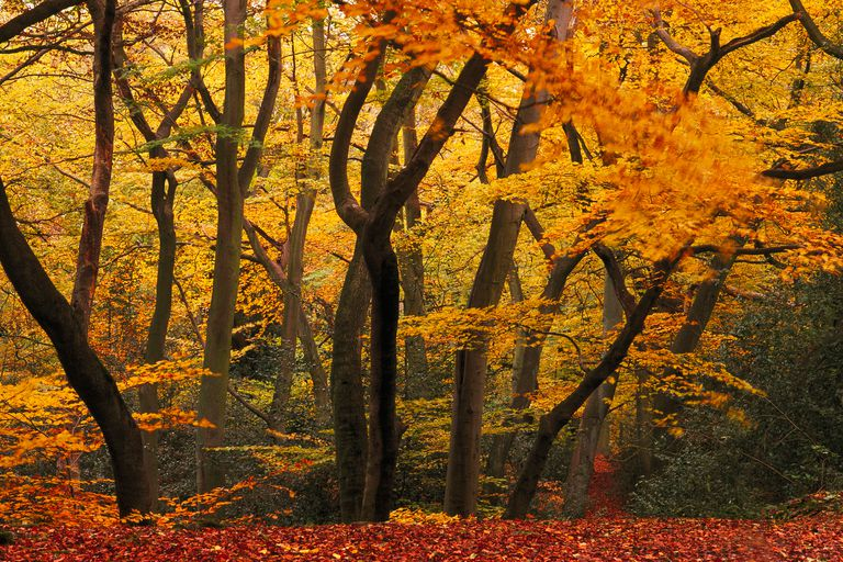 Beechwood in autumn at Burnham Beeches.