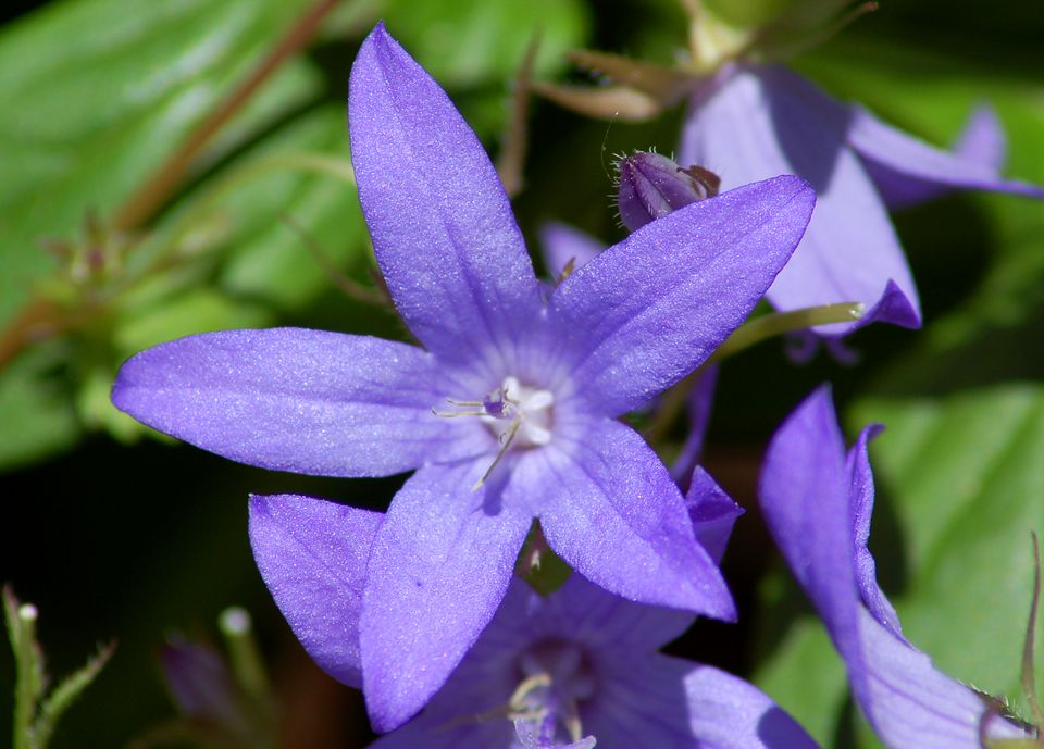 Campanula portenschlagiana (image) is one of several plants called bellflowers. It is floriferous.