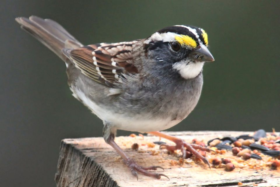 White-Throated Sparrow Feeding
