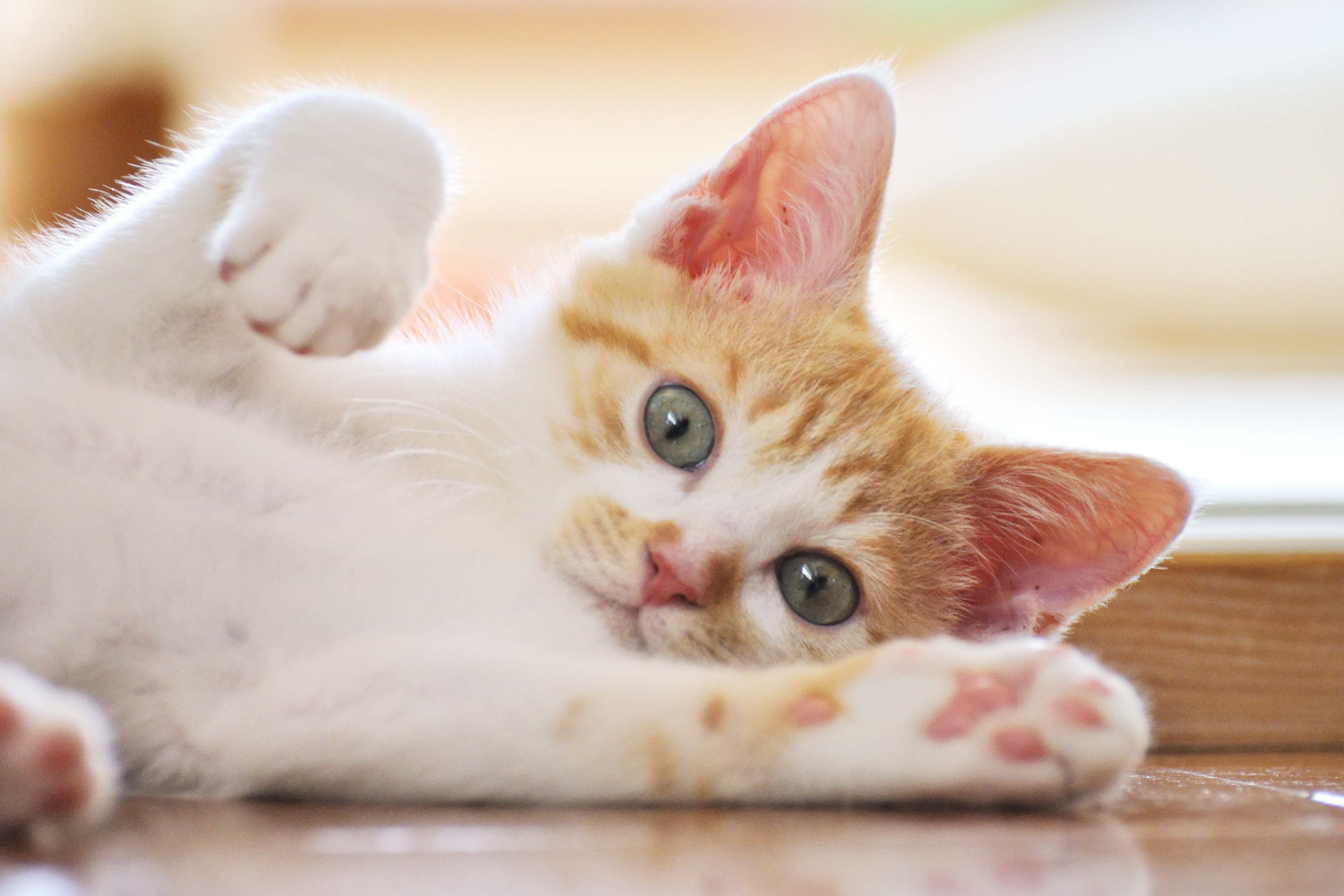 Upper Respiratory Infections in Cats URI