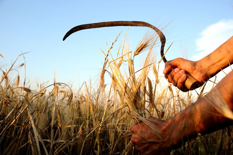 Harvesting with a sickle.
