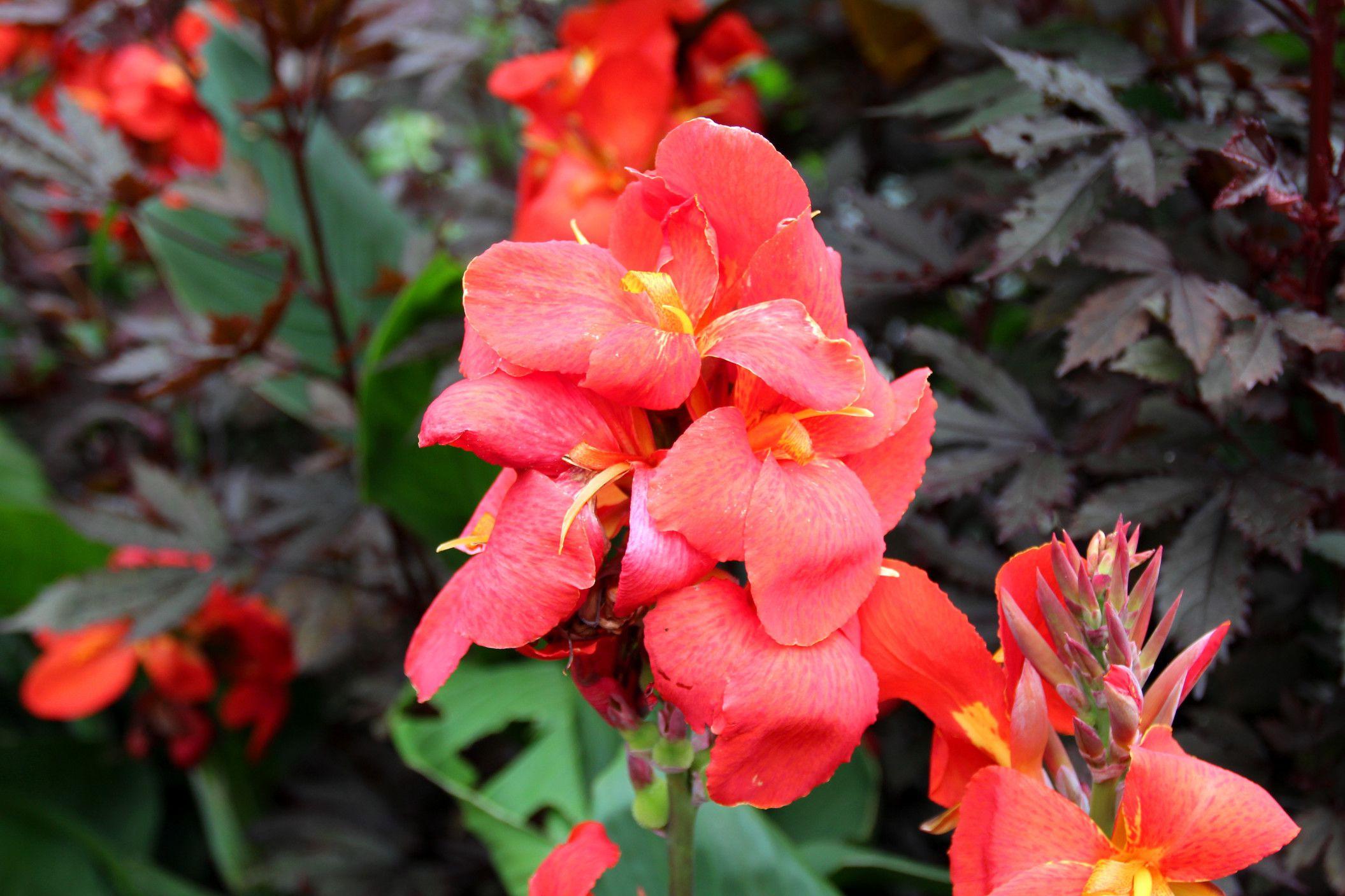 Growing canna tropical perennials for the garden izmirmasajfo Choice Image