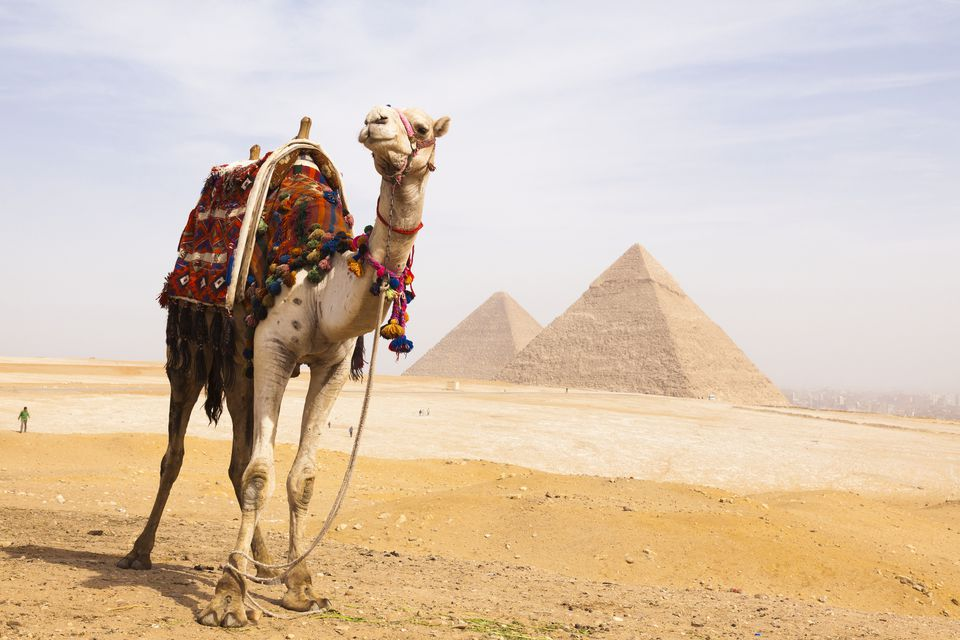 Camel in front of the pyramids of Giza