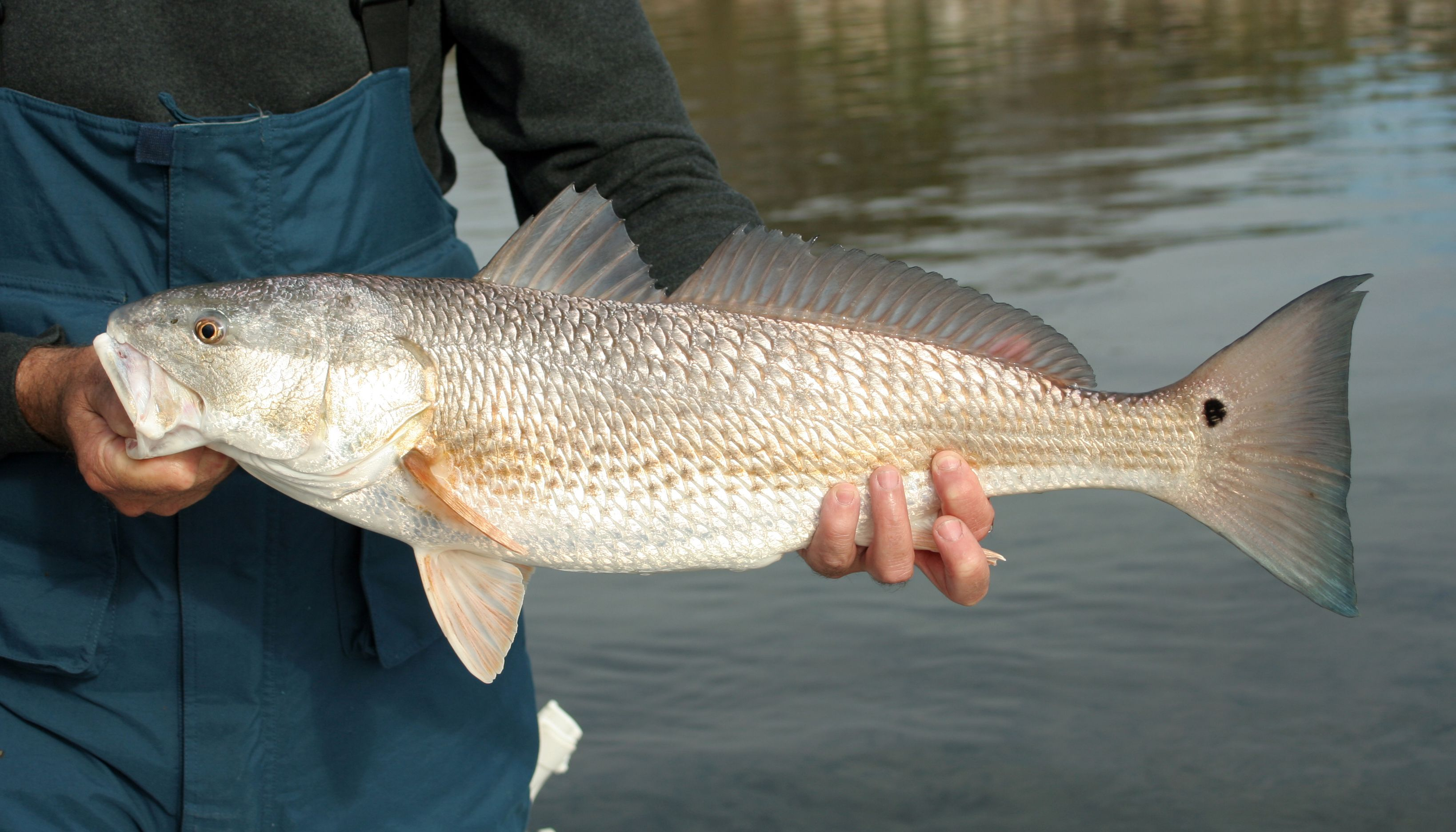 The perfect redfish bait for Live to fish
