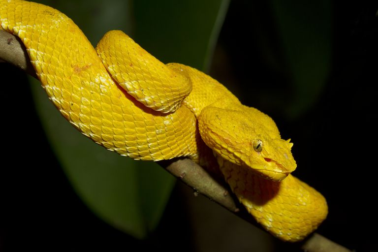 Eyelash Viper, Bothriechis schlegelii, Central America, Costa Rica