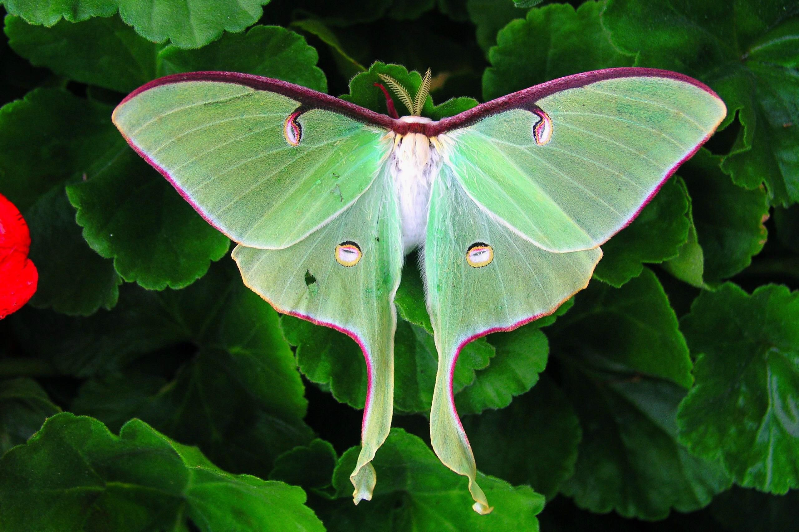 Lucky 8 Auto >> How to Identify the Beautiful, Endangered Luna Moth