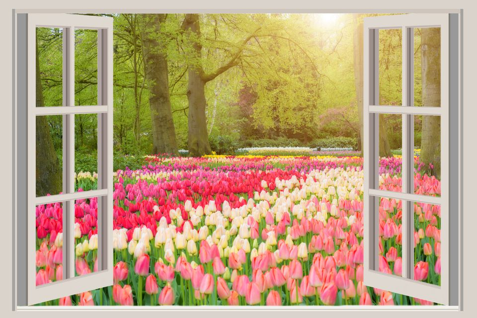 Tulip scene in mixed colors as seen from window.