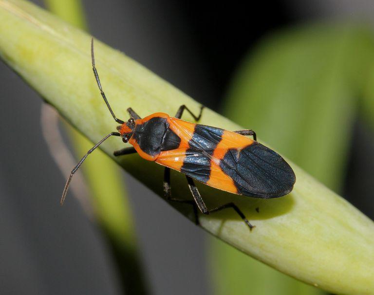 Large milkweed bug.