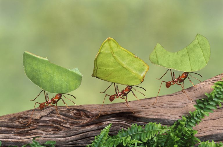 Leafcutter ants.