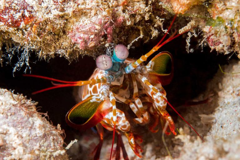 A mantis shrimp peers out from the opening of its den.