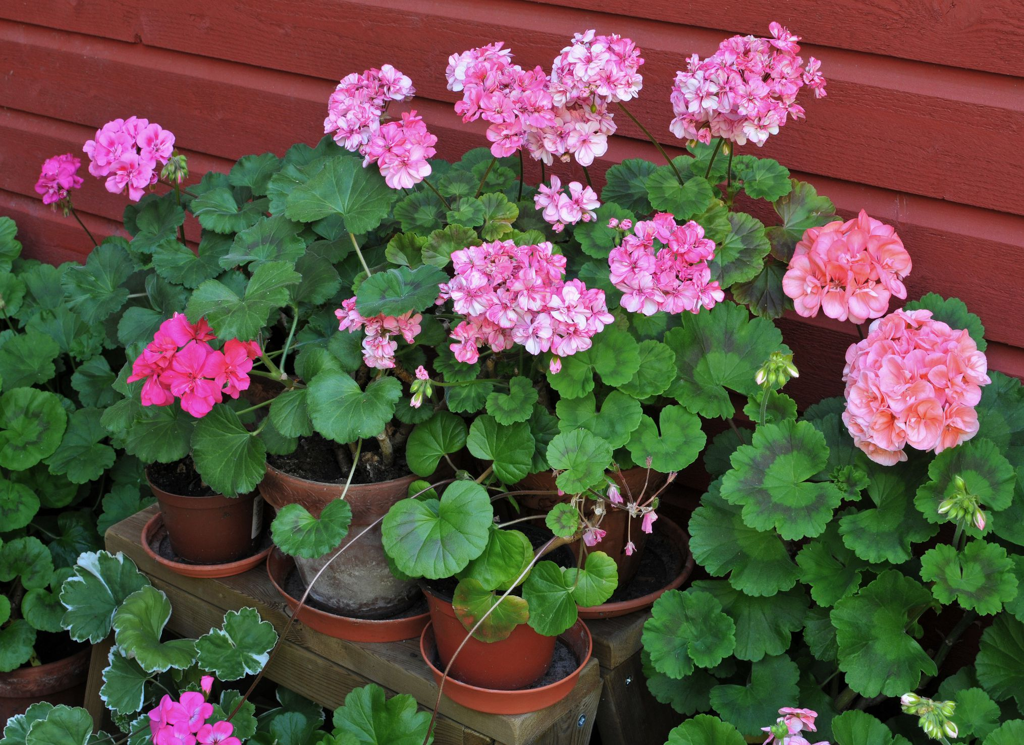 3 tips for keeping annual flowers blooming izmirmasajfo Images