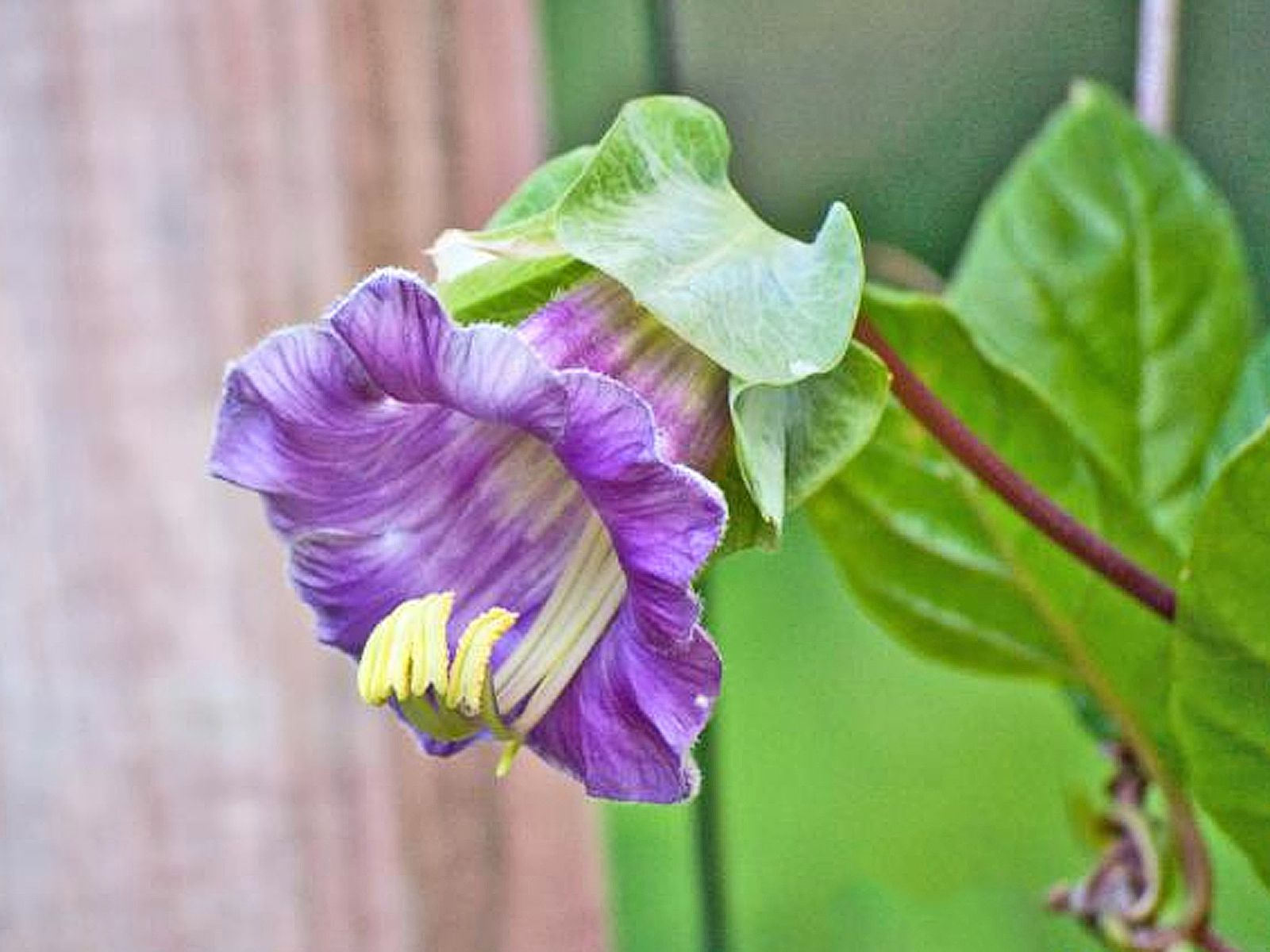 Growing Cup And Saucer Vine Cobaea Scandens