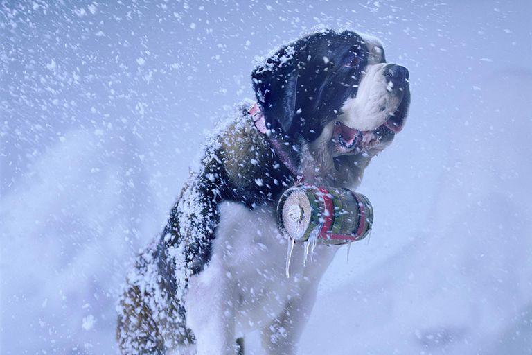 Saint Bernard in snow storm with cask of brandy around neck