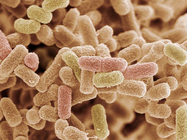 E. coli bacteria, SEM