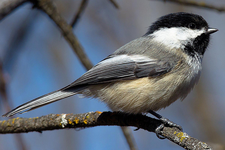 official birds of canada provincial birds