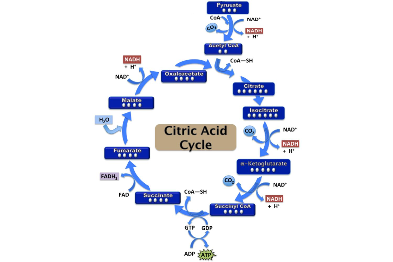 Citric acid cycle steps atp production pooptronica Image collections