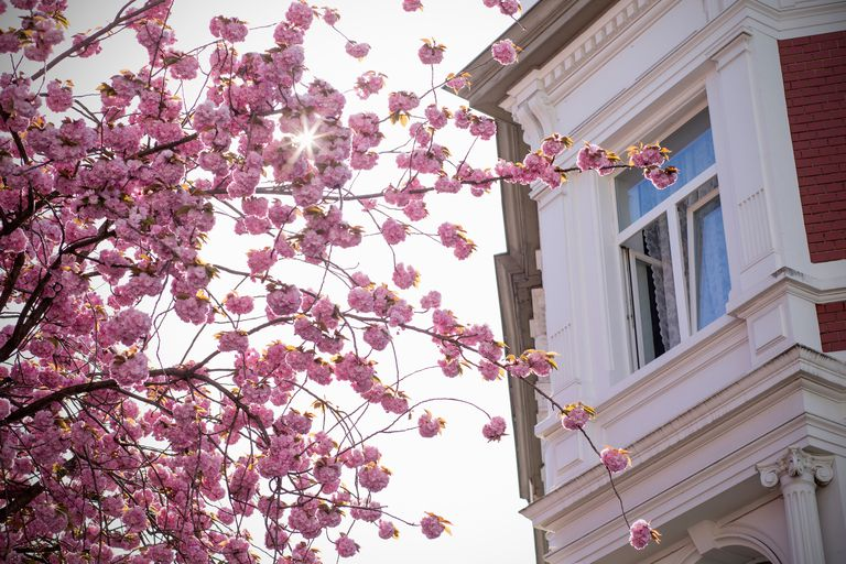 Beautiful springtime flowering tree in front of a 19th century house in Bonn, Germany