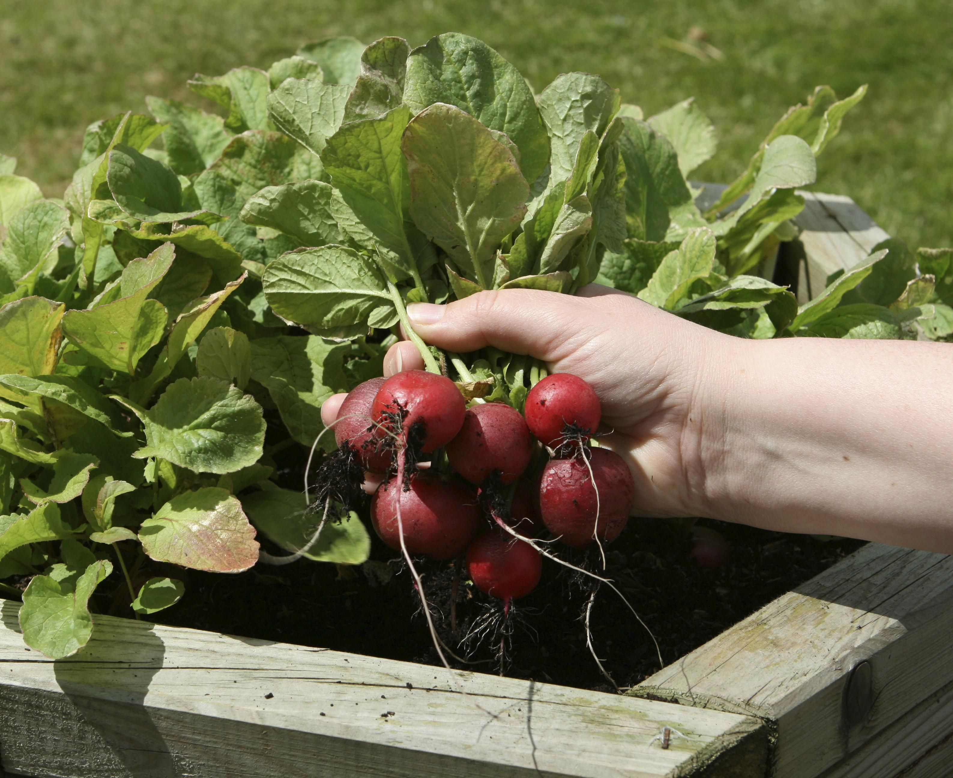 Small Vegetable Garden Ideas >> Growing Radishes in the Home Vegetable Garden