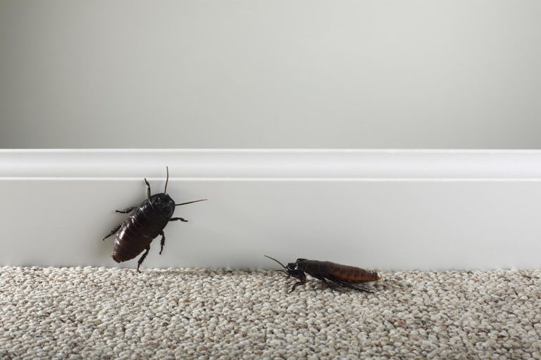 Two cockroaches by interior wall