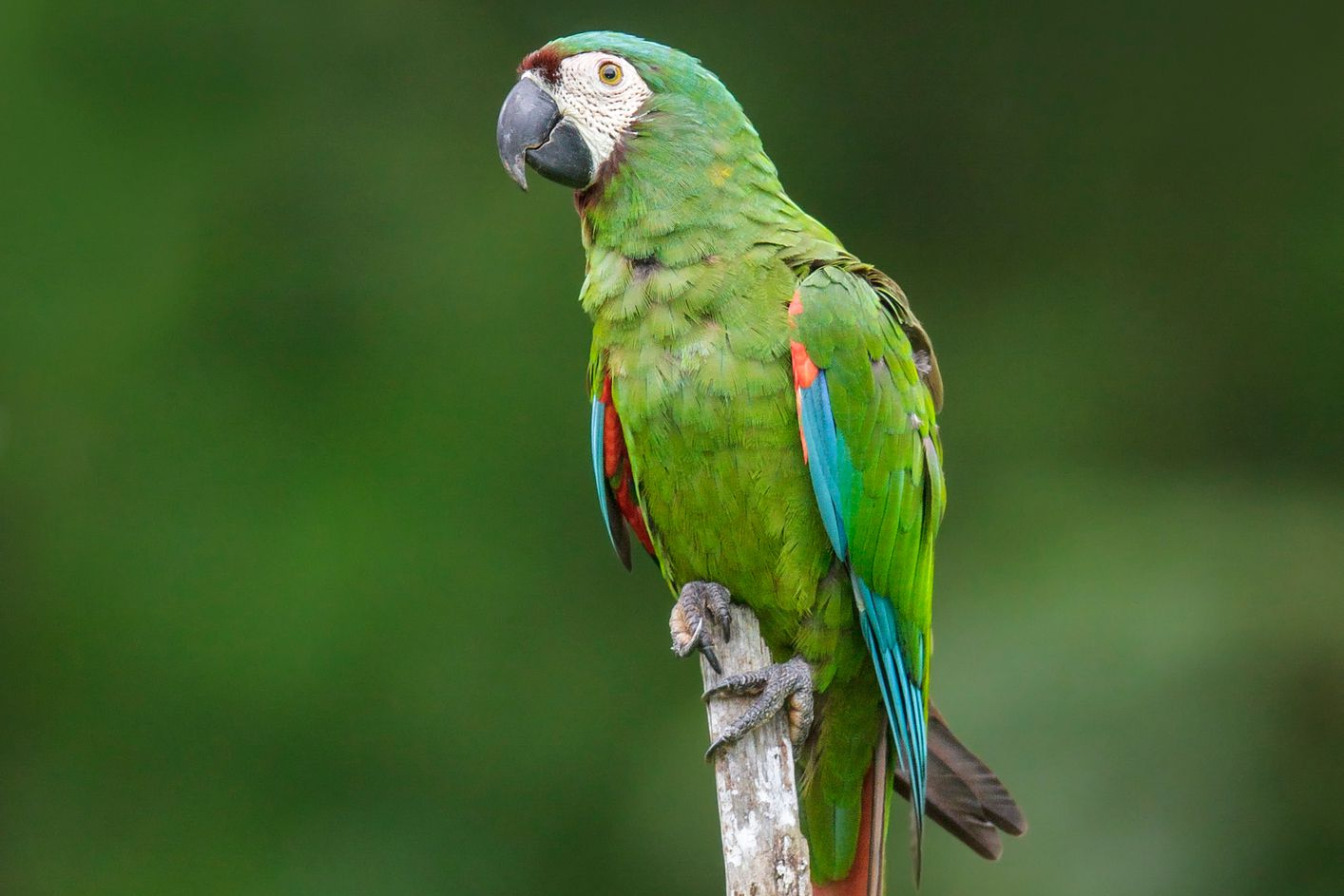 Severe Or Chestnut Fronted Macaws As Pets