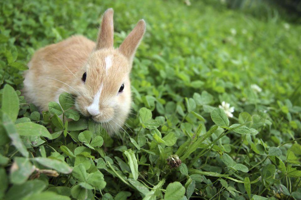 Rabbit on clovers