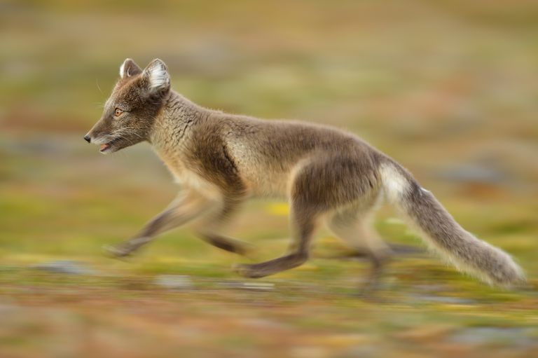 fox - complete subject