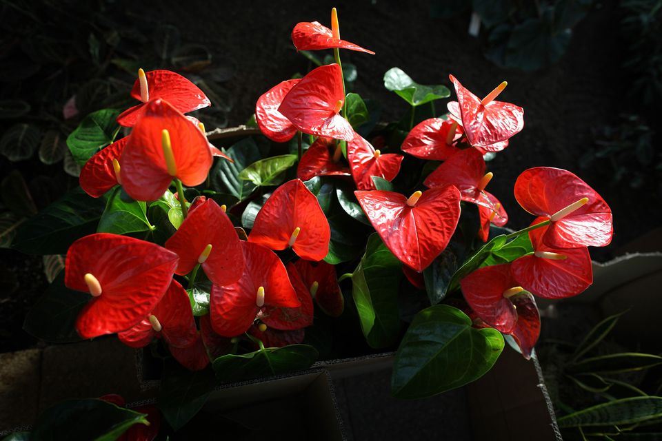 anthurium andraeanum - Red Flowering House Plants