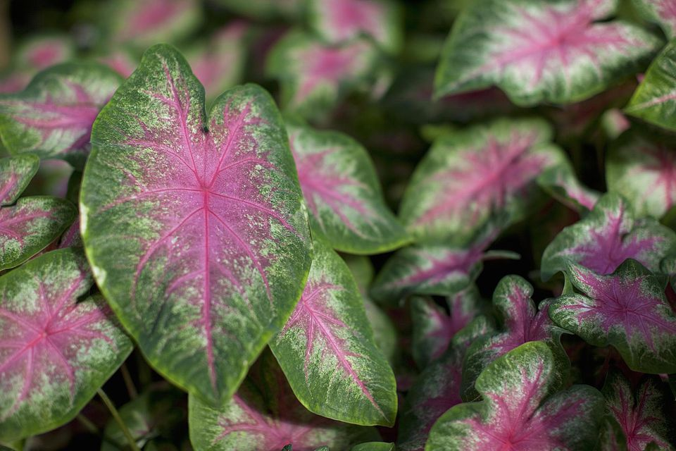 Colorful leaves of a Caladium