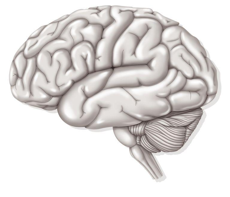 Brain with cerebellum