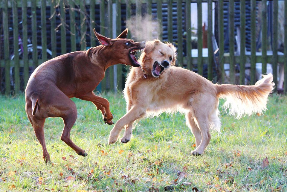 Two Dogs Fighting On Lawn