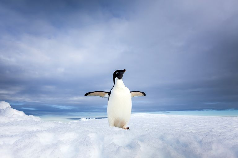 Adelie penguins have a large population that numbers between 4 and 5 million adult birds.